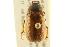 (Phyllophaga bruneri - BIOUG02026-D09)  @14 [ ] CreativeCommons - Attribution Non-Commercial Share-Alike (2012) BIO Photography Group Biodiversity Institute of Ontario