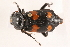 (Nicrophorus orbicollis - 09BBECO-0046)  @14 [ ] CreativeCommons - Attribution Non-Commercial Share-Alike (2010) Unspecified Biodiversity Institute of Ontario