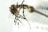 (Aedes atropalpus - 10BBCDIP-2304)  @12 [ ] CreativeCommons - Attribution Non-Commercial Share-Alike (2010) BIO Photography Group Biodiversity Institute of Ontario