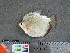 (Mylossoma aureum - UMSS 11062)  @15 [ ] Copyright (2011) F.M. Carvajal-Vallejos FAUNAGUA