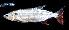 (Acestrorhynchidae - UMSS 6663)  @15 [ ] Copyright (2013) F.M. Carvajal-Vallejos Universidad Mayor de San Simon, Unidad de Limnologia y Recursos Acuaticos