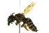 (Megachile pugnata pomonae - BIOUG02475-F11)  @14 [ ] CreativeCommons - Attribution Non-Commercial Share-Alike (2013) BIO Photography Group Biodiversity Institute of Ontario