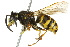 (Vespula alascensis - 10BBCHY-3397)  @14 [ ] CreativeCommons - Attribution Non-Commercial Share-Alike (2011) BIO Photography Group Biodiversity Institute of Ontario