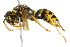 (Polistes dominula - 10BBCHY-3403)  @14 [ ] CreativeCommons - Attribution Non-Commercial Share-Alike (2011) BIO Photography Group Biodiversity Institute of Ontario