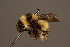 (Bombus personatus - 0005-CHN)  @15 [ ] Unspecified (default): All Rights Reserved  Unspecified Unspecified