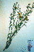  (Grindelia - CCDB-18323-E1)  @11 [ ] CreativeCommons - Attribution Non-Commercial Share-Alike (2012) Biodiversity Institute of ontario Unspecified