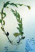 (Senecio sheldonensis - CCDB-18323-H11)  @11 [ ] CreativeCommons - Attribution Non-Commercial Share-Alike (2012) Biodiversity Institute of ontario Unspecified