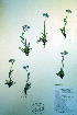  (Myosotis alpestris - CCDB-18325-E6)  @11 [ ] CreativeCommons - Attribution Non-Commercial Share-Alike (2012) Biodiversity Institute of ontario Unspecified