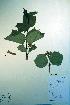 (Viburnum edule - CCDB-18327-C8)  @11 [ ] CreativeCommons - Attribution Non-Commercial Share-Alike (2012) Biodiversity Institute of ontario Unspecified