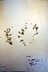 (Epilobium lactiflorum - CCDB-18332-D6)  @11 [ ] CreativeCommons - Attribution Non-Commercial Share-Alike (2012) Biodiversity Institute of ontario Unspecified