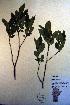 (Rhamnus alnifolia - CCDB-18335-F7)  @11 [ ] CreativeCommons - Attribution Non-Commercial Share-Alike (2012) Biodiversity Institute of ontario Unspecified