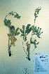(Potentilla gracilis - CCDB-18336-E2)  @11 [ ] CreativeCommons - Attribution Non-Commercial Share-Alike (2012) Biodiversity Institute of ontario Unspecified