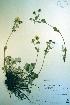 (Potentilla villosa - CCDB-18336-B5)  @11 [ ] CreativeCommons - Attribution Non-Commercial Share-Alike (2012) Biodiversity Institute of ontario Unspecified