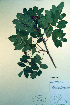  (Sorbus sitchensis - CCDB-18336-C9)  @11 [ ] CreativeCommons - Attribution Non-Commercial Share-Alike (2012) Biodiversity Institute of ontario Unspecified
