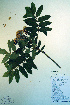  (Sorbus scopulina - CCDB-18336-A9)  @11 [ ] CreativeCommons - Attribution Non-Commercial Share-Alike (2012) Biodiversity Institute of ontario Unspecified