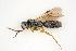(Vanhorniidae - BC-ZSM-HYM-21584-F07)  @11 [ ] by-nc-sa (2014) Stefan Schmidt ZSM (Zoologische Staatssammlung Muenchen)