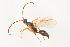 (Parthenocodrus - BC-ZSM-HYM-22525-G06)  @11 [ ] by-nc-sa (2014) Stefan Schmidt ZSM (Zoologische Staatssammlung Muenchen)