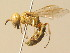 (Philanthus pallidus - BC ZSM HYM 19511)  @14 [ ] Unspecified (default): All Rights Reserved  Unspecified Unspecified
