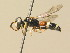 (Philanthus coarctatus - BC ZSM HYM 19516)  @13 [ ] Unspecified (default): All Rights Reserved  Unspecified Unspecified
