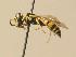 (Philanthus pulchellus - BC ZSM HYM 19524)  @11 [ ] Unspecified (default): All Rights Reserved  Unspecified Unspecified