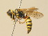 (Philanthus variegatus - BC ZSM HYM 19532)  @13 [ ] Unspecified (default): All Rights Reserved  Unspecified Unspecified