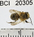 (Megachile sp. 2YB - YB-BCI20305)  @15 [ ] No Rights Reserved (2011) Yves Basset Smithsonian Tropical Research Institute