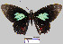 (Parides sesostris tarquinius - YB-BCI10590)  @14 [ ] No Rights Reserved  Unspecified Unspecified