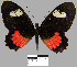 (Parides erithalion smalli - YB-BCI12808)  @14 [ ] No Rights Reserved  Unspecified Unspecified