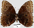 (Morpho helenor peleides - YB-BCI22000)  @14 [ ] No Rights Reserved  Unspecified Unspecified