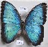 (Morpho helenor - YB-FD21719)  @14 [ ] No Rights Reserved  Unspecified Unspecified