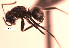 (Camponotus sp. 1YB - YB-DD1064BC)  @13 [ ] No Rights Reserved  Unspecified Unspecified