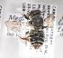  (Megachile mendica snowi - LRBBC1157)  @11 [ ] CreativeCommons - Attribution Non-Commercial Share-Alike (2009) L.R.Best York University