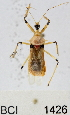  (Reduviidae sp.3YB - YB-BCI1426)  @14 [ ] No Rights Reserved  Unspecified Unspecified