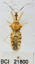  (Reduviidae sp.5YB - YB-BCI21800)  @12 [ ] No Rights Reserved  Unspecified Unspecified