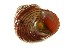  (Calliostoma ligatum - 10BCMOL-00283)  @13 [ ] Unspecified (default): All Rights Reserved  Unspecified Biodiversity Institute of Ontario