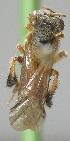 (Camargoia - CBF-Hym-00899)  @11 [ ] Copyright (2012) CBF Colección Boliviana de Fauna