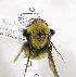 (Bombus morrisoni - 01-UT-2597)  @14 [ ] CreativeCommons - Attribution Non-Commercial Share-Alike (2010) Unspecified York University