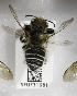  (Megachile umatillensis - CCDB-09863 A05)  @11 [ ] Unspecified (default): All Rights Reserved (2011) Unspecified York University