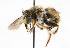  (Anthidium manicatum - GUE06-BEES-123)  @14 [ ] CreativeCommons - Attribution Non-Commercial Share-Alike (2009) Unspecified Biodiversity Institute of Ontario