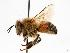 (Apis mellifera - GUE06-BEES-306)  @16 [ ] CreativeCommons - Attribution Non-Commercial Share-Alike (2009) Unspecified Biodiversity Institute of Ontario