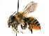  (Megachile latimanus - GUE06-BEES-314)  @15 [ ] CreativeCommons - Attribution Non-Commercial Share-Alike (2009) Unspecified Biodiversity Institute of Ontario