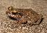 (Eleutherodactylidae - CFBHT16565)  @15 [ ] CreativeCommons – Attribution (by) (2013) Mariana L. Lyra Universidade Estadual Paulista, Rio Claro