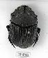 (Sulcophanaeus faunus - CBF-Scarab-002195)  @14 [ ] Copyright (2011) CBF Colección Boliviana de Fauna