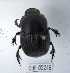 (Oruscatus - CBF-Scarab-002246)  @12 [ ] Copyright (2011) CBF Colección Boliviana de Fauna