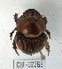 (Bolbites - CBF-Scarab-002268)  @11 [ ] Copyright (2011) CBF Colección Boliviana de Fauna