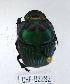 (Oxysternon palaemon - CBF-Scarab-002282)  @11 [ ] Copyright (2011) CBF Colección Boliviana de Fauna