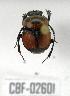 (Canthon septemmaculatus histrio - CBF-Scarab-002601)  @11 [ ] Copyright (2011) CBF Colección Boliviana de Fauna