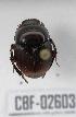 (Canthon semiopacus - CBF-Scarab-002603)  @11 [ ] Copyright (2011) CBF Colección Boliviana de Fauna