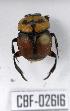 (Canthon septemmaculatus histrio - CBF-Scarab-002616)  @11 [ ] Copyright (2011) CBF Colección Boliviana de Fauna