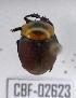 (Canthon luteicollis - CBF-Scarab-002623)  @12 [ ] Copyright (2011) CBF Colección Boliviana de Fauna